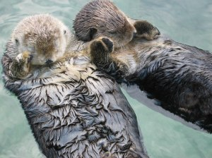 Otters hold hands when they sleep so they don't drift apart. Almost as romantic as my husband via commons.org